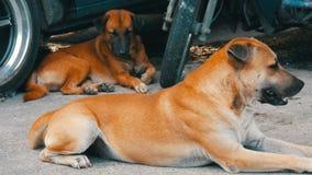 Dois cães sós encontram-se na rua perto de um carro em Tailândia video estoque