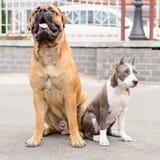 Dois cães sentam-se Foto de Stock Royalty Free