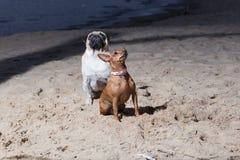 Dois cães sentam-se no mar Báltico Espanadores do branco e terrier de brinquedo do brovn Imagens de Stock Royalty Free
