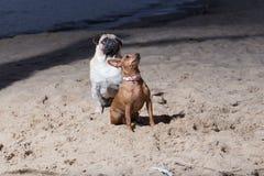 Dois cães sentam-se no mar Báltico Espanadores do branco e terrier de brinquedo do brovn Fotografia de Stock
