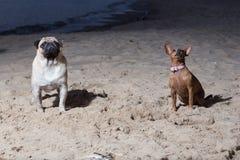 Dois cães sentam-se no mar Báltico Espanadores do branco e terrier de brinquedo do brovn Fotos de Stock