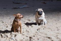 Dois cães sentam-se no mar Báltico Espanadores do branco e terrier de brinquedo do brovn Imagens de Stock