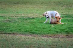 Dois cães tailandeses que jogam no prado verde Imagens de Stock Royalty Free