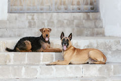 Dois cão Malinois e Airedale Foto de Stock Royalty Free