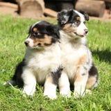 Dois cachorrinhos australianos do pastor junto Imagem de Stock