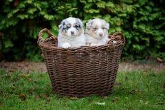 Dois cachorrinhos australianos do pastor na cesta de vime na grama do jardim Fotografia de Stock Royalty Free