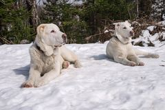 Dois cachorrinhos brancos encontram-se na neve e olham-se em um sentido imagens de stock royalty free