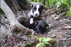 Dois cachorrinhos com olhos azuis na madeira Fotografia de Stock