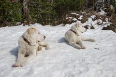 Dois cachorrinhos de Alabai encontram-se na neve e olham-se em um sentido imagem de stock royalty free