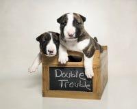 Dois cachorrinhos de bull terrier em uma caixa Fotografia de Stock Royalty Free