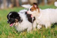Dois cachorrinhos de Elo estão correndo no prado foto de stock