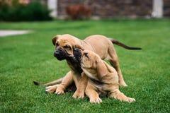 Dois cachorrinhos de Fila Brasileiro Brazilian Mastiff que têm o divertimento fotos de stock