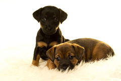 Dois cachorrinhos de Jack Russel em uma pele dos carneiros no fundo branco Fotos de Stock Royalty Free