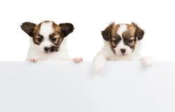 Dois cachorrinhos de Papillon no fundo branco Fotografia de Stock