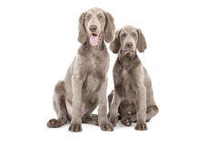 Dois cachorrinhos de Weimaraner Fotografia de Stock