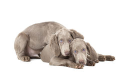 Dois cachorrinhos de Weimaraner sobre o branco Fotos de Stock Royalty Free