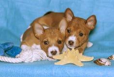 Dois cachorrinhos do Basenji produzem em um fundo azul imagem de stock royalty free