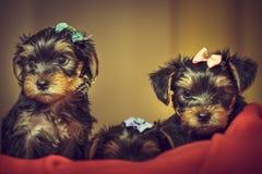Dois cachorrinhos do cão do yorkshire terrier Fotografia de Stock