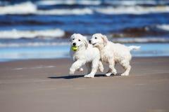 Dois cachorrinhos do golden retriever em uma praia Fotografia de Stock Royalty Free