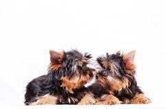 Dois cachorrinhos do Yorkshire Fotos de Stock Royalty Free