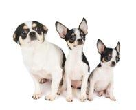 Dois cachorrinhos e sua mãe Fotografia de Stock