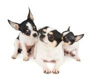 Dois cachorrinhos e sua mãe Imagem de Stock