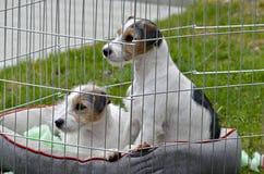 Dois cachorrinhos em uma pena Fotografia de Stock Royalty Free