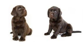 Dois cachorrinhos marrons de Labrador Imagens de Stock Royalty Free