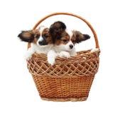 Dois cachorrinhos na cesta Fotos de Stock Royalty Free