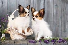 Dois cachorrinhos na cesta Imagem de Stock Royalty Free