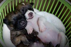 Dois cachorrinhos pequenos bonitos est?o dormindo fotografia de stock royalty free
