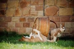 Dois cachorrinhos roncos na cesta Foto de Stock Royalty Free