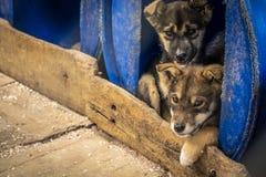 Dois cachorrinhos Siberian dos pastores dentro de um refugiado imagem de stock royalty free