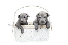 Dois cachorrinhos tailandeses do ridgeback na cesta isolada no branco Imagem de Stock Royalty Free