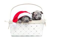 Dois cachorrinhos tailandeses do ridgeback no tampão do Natal na cesta Foto de Stock Royalty Free