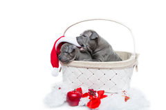 Dois cachorrinhos tailandeses do ridgeback no tampão do Natal na cesta Imagem de Stock Royalty Free