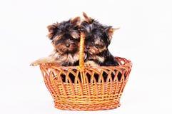 Dois cachorrinhos Yorkshire estão sentando-se na cesta Fotos de Stock