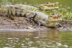 Dois caimões (fuscus do crocodilus do caimão) fotografia de stock royalty free