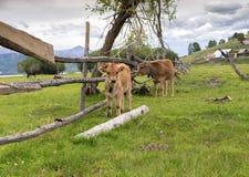 Dois calfs em um pasto do prado Foto de Stock