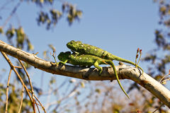 Dois camaleões do tapete (lateralis de Furcifer) Fotografia de Stock Royalty Free