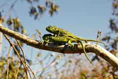 Dois camaleões do tapete (lateralis de Furcifer) Imagens de Stock Royalty Free