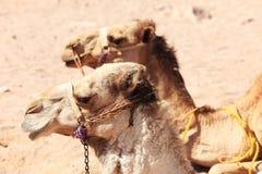 Dois camelos Fotografia de Stock Royalty Free