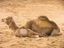 Dois camelos Foto de Stock