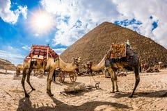 Dois camelos na frente da pirâmide dos cheops imagens de stock royalty free
