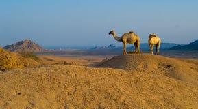 Dois camelos no deserto Imagem de Stock Royalty Free