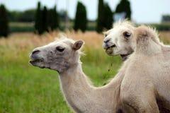 Dois camelos novos pequenos no fundo da grama verde Bactrianus do Camelus Foto de Stock