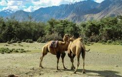 Dois camelos que jogam junto Fotos de Stock Royalty Free