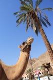 Dois camelos retrato, palmeira Fotos de Stock Royalty Free