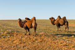 Dois camelos two-humped nos estepes de Mongólia foto de stock