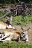 Dois cangurus Imagem de Stock Royalty Free